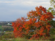 colorful oak tree