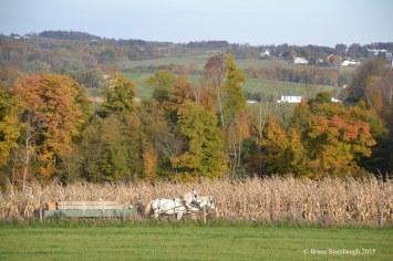 picking corn, white horses
