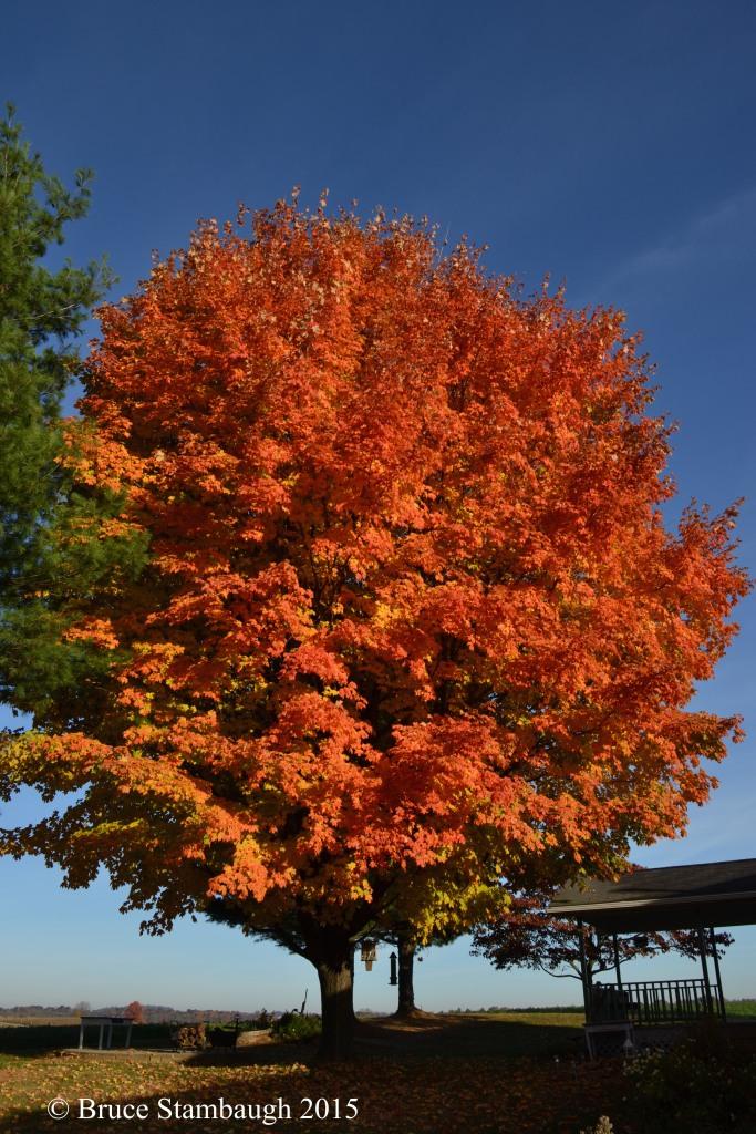 sugar maple orange