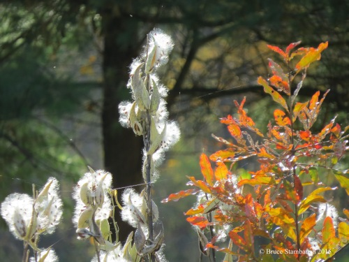 milkweed, blowing in the wind