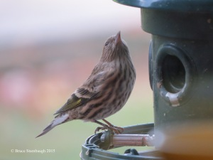 Pine Siskin, birding