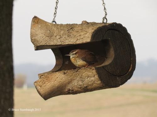 Carolina Wren, bird feeder