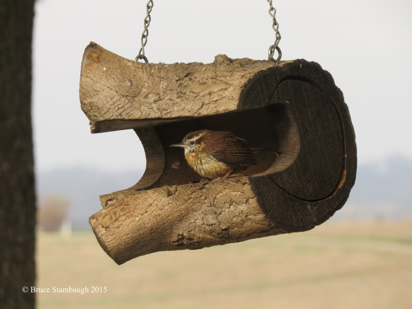 Carolina Wren, bird feeder