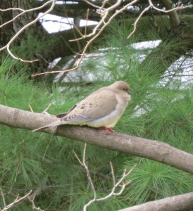 mourning dove, Ohio