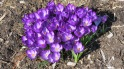 spring flowers, crocuses