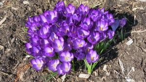 spring flowers, crocuses