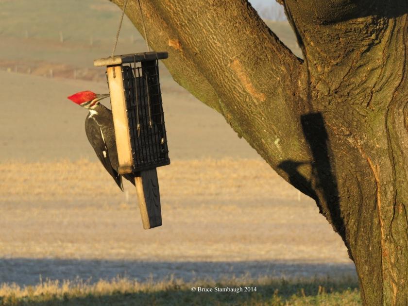 pileated woodpecker, shadow, winter solstice