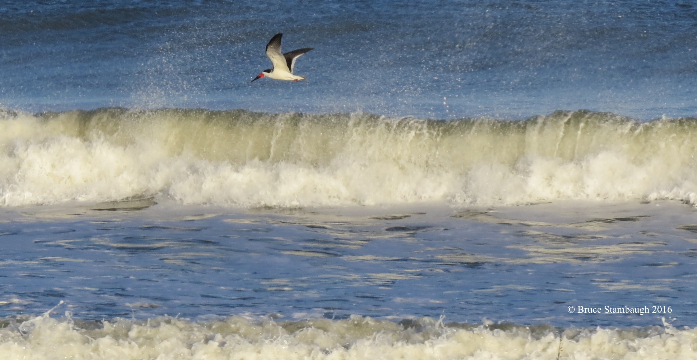 black skimmer, breaking waves