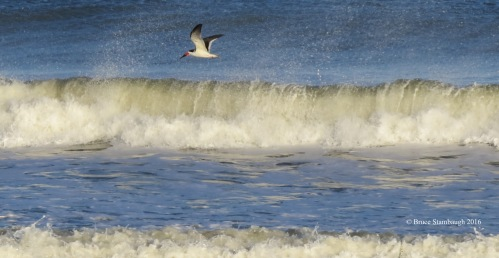 black skimmer, breaking waves