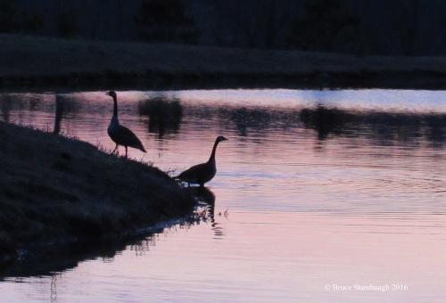 Canada Geese, Ohio sunrise