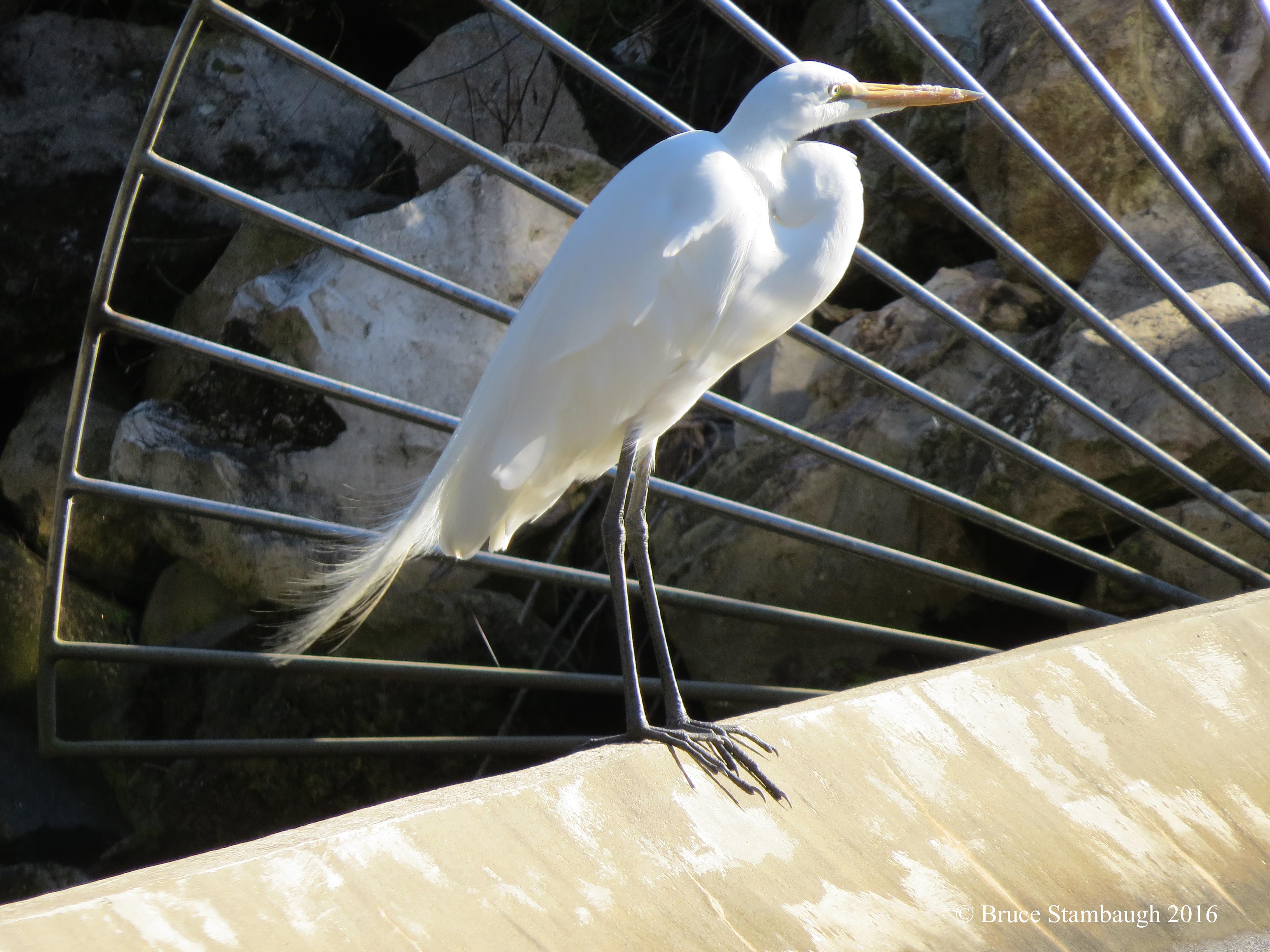 Great Egret & Amelia Island Florida | Roadkill Crossing 25forcollege.com
