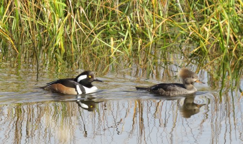 hooded mergansers, Egan's Creek Greenway