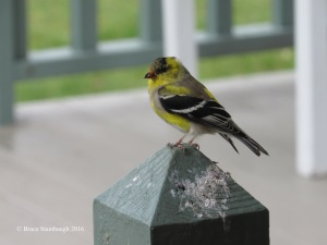 American Goldfinch, molting