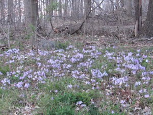 phlox in woods