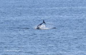 dolphins, Atlantic Ocean, Florida