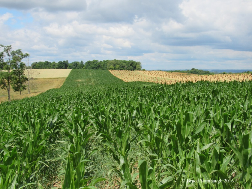 grain crops, Amish farm
