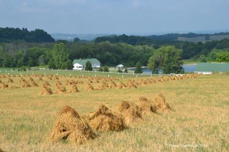 Amish farm, oats shocks