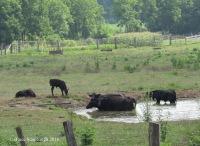 cows, farm pond