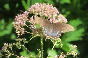 spicebush swallowtail butterfyly