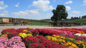 mums, Ohio's Amish country