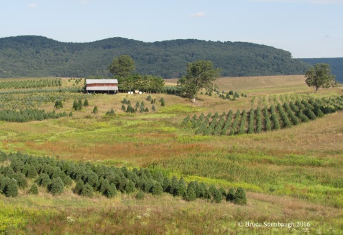 Christmas tree farm, West Virginia
