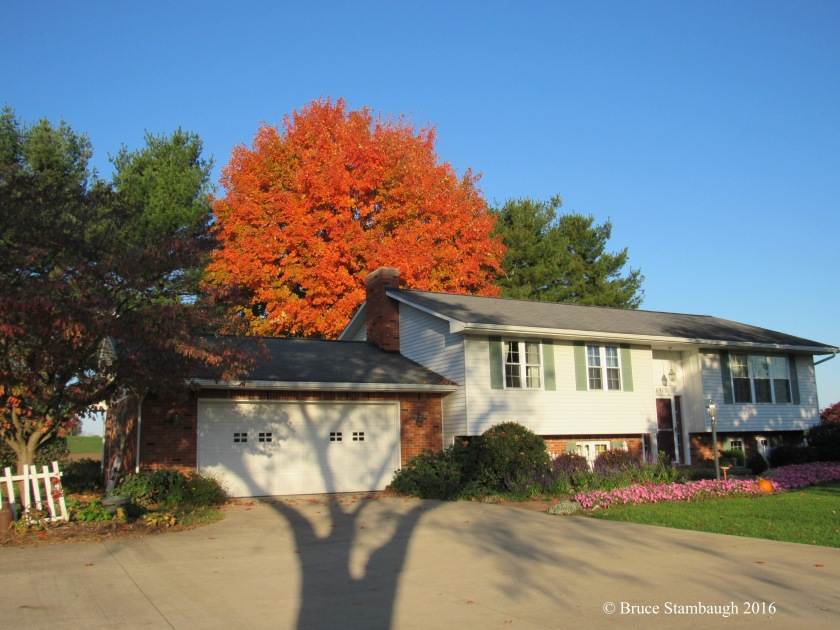 orange sugar maple