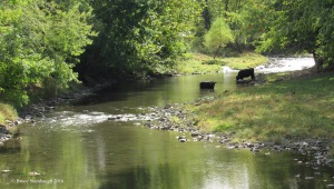 lost river, cows in stream
