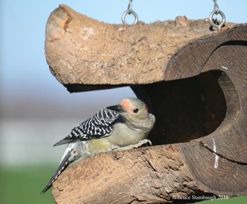 female red-bellied woodpecker sunning