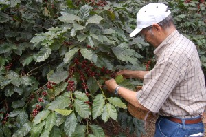 Honduras, coffee berries