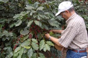 Honduras, coffee berries