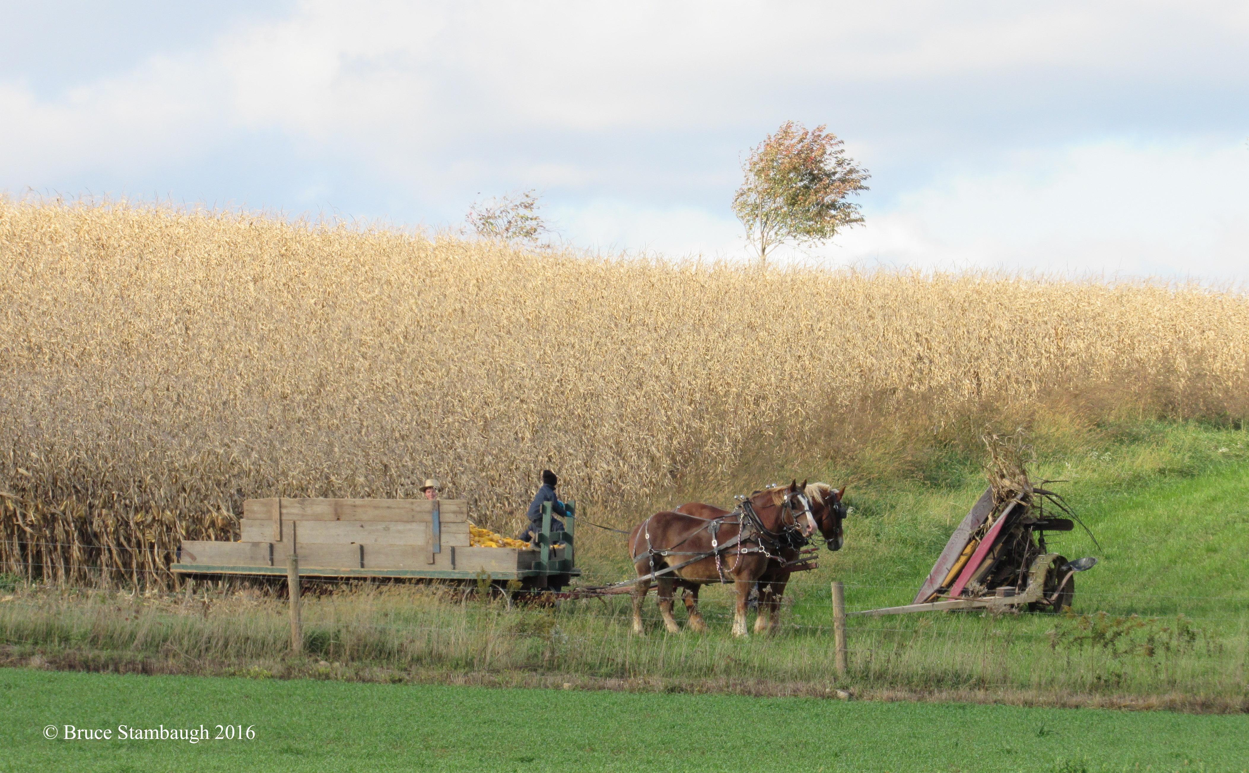 Amish boys, harvesting corn