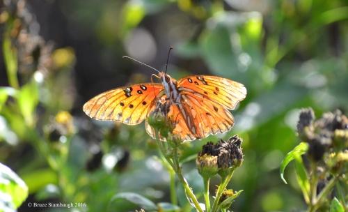 gulf fritillary, butterfly