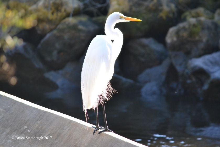 great egret, Egans Creek Greenway FL