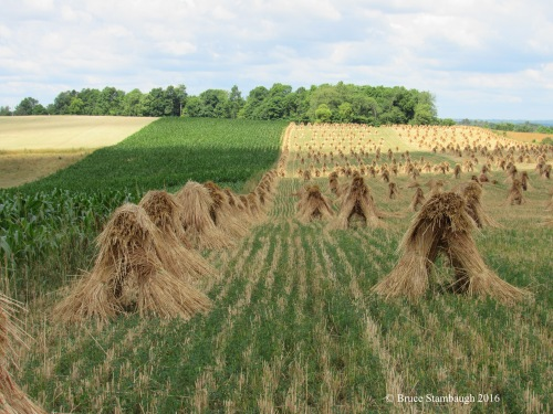wheat shocks, grain fields