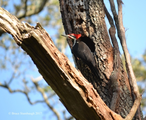 pileated woodpecker, Big Talbot Island FL