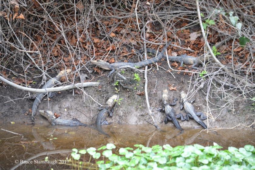 baby alligators, Amelia Island FL