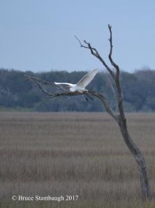 great egret in flght