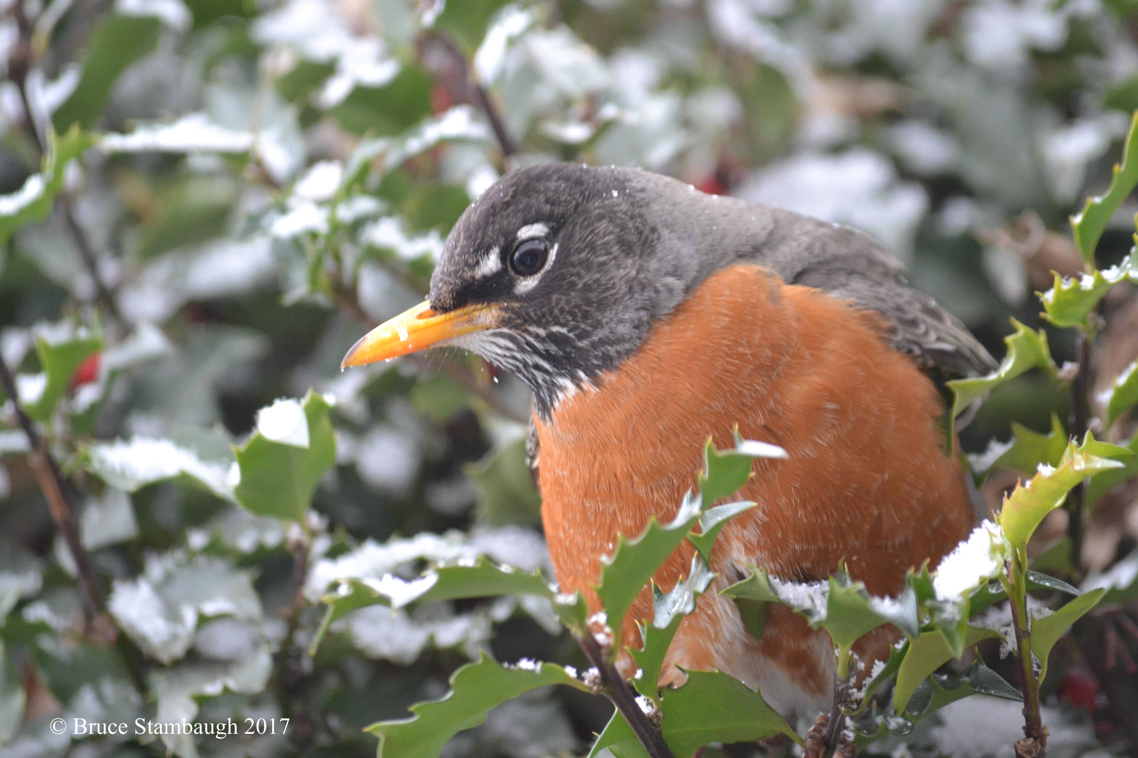 American Robin, birds, spring