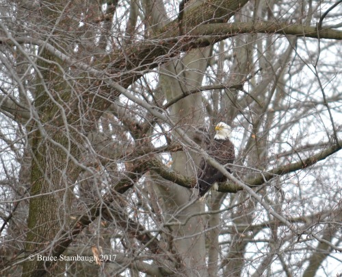 bald eagle, Holmes Co. OH