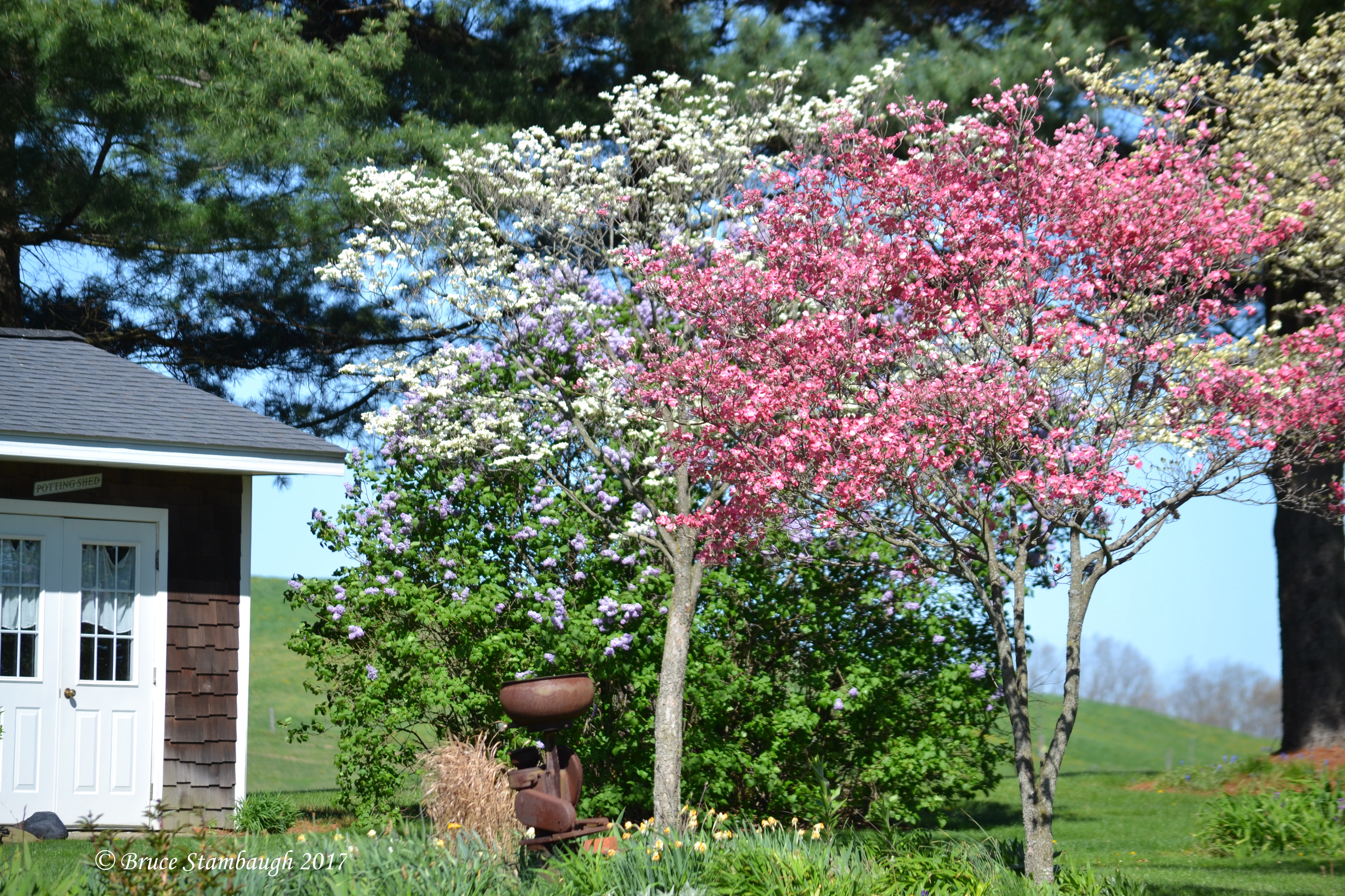 blooming dogwoods