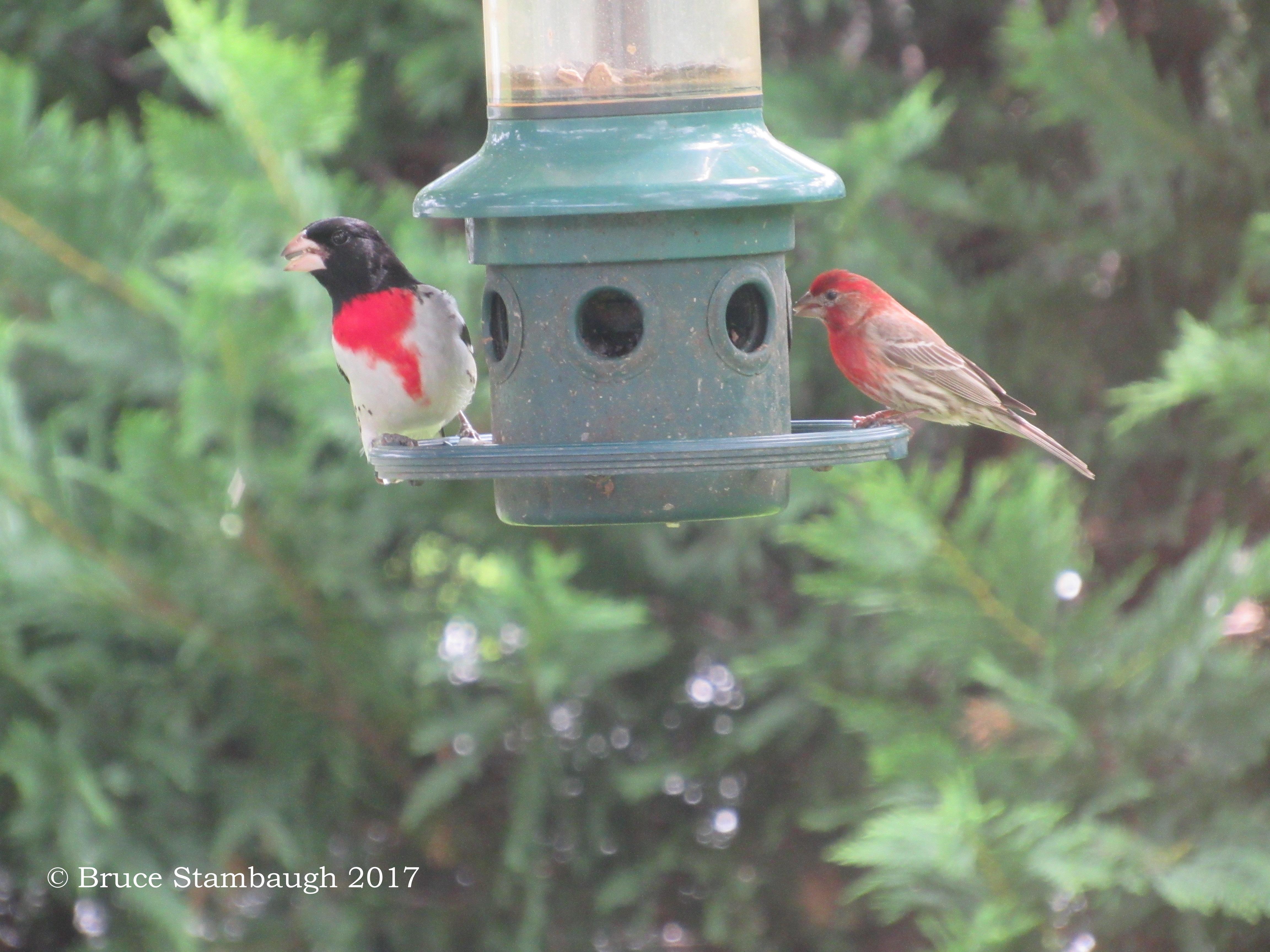 backyard birds, Virginia