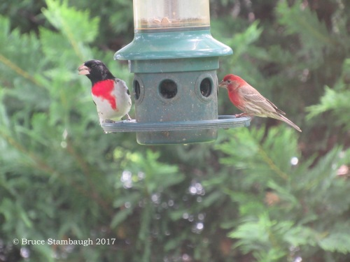 backyard birds, Virginia