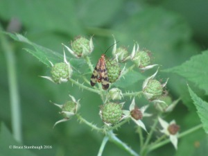 scorpionfly, green raspberries