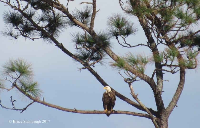 national symbol, bald eagle