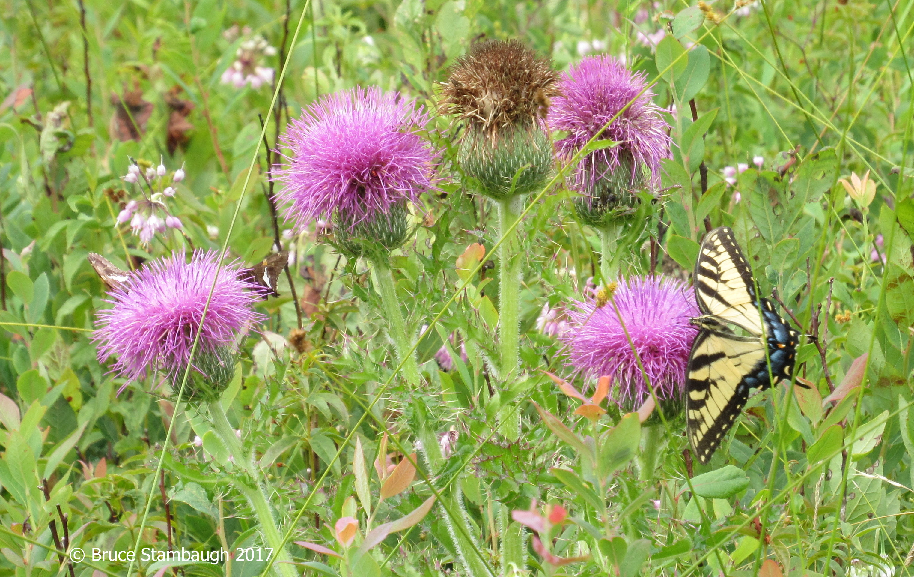 Tiger Swallowtail, Silver-spotted Skipper