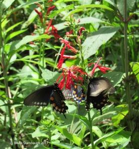 cardinal flowers, spicebush butterflies
