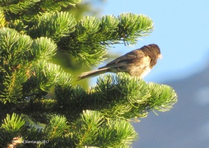 Oregon Junco, Mt. Rainier NP