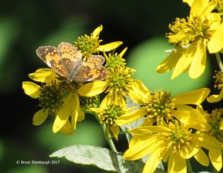 butterfly, Shenandoah NP