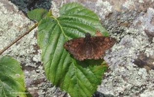 butterflies, Shenandoah NP