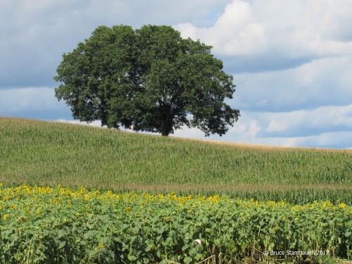 sunflowers, field corn, cumulous clouds